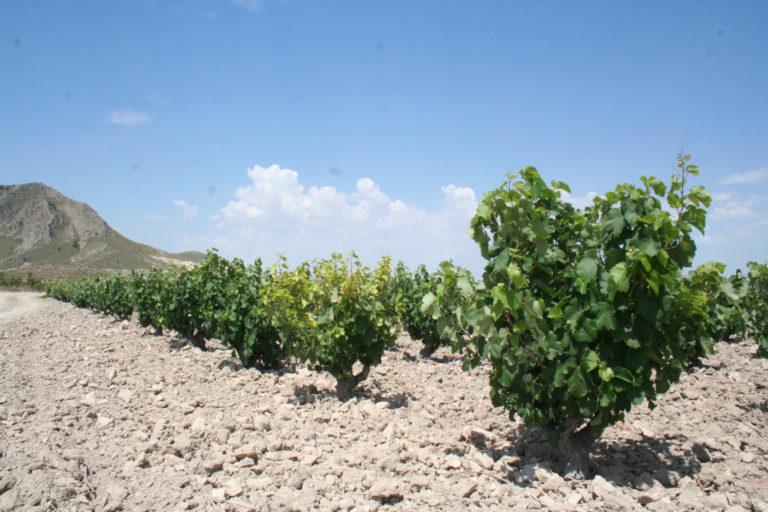 La vid en las tierras altas de Lorca.